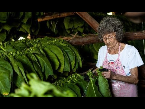 Cuba Tobacco Harvest: Farmers cope with effects of El Nino