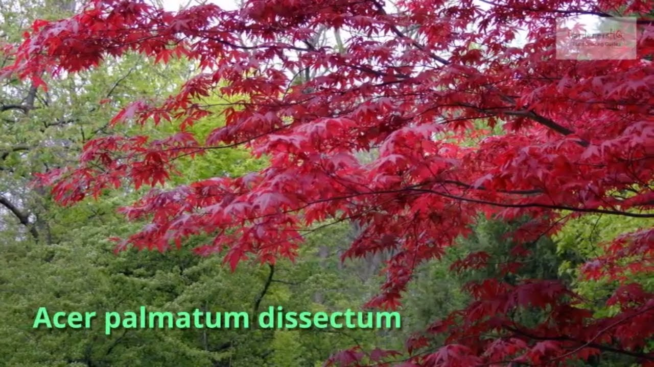Acer Palmatum Dissectum Growing Guide Japanese Maple By