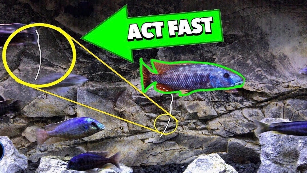 IF YOU SEE THIS HANGING FROM YOUR FISH, START THESE TREATMENTS FAST!
