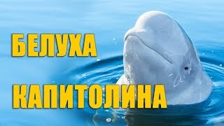 Белуха Капитолина. Санкт-Петербургский Дельфинарий на Крестовском
