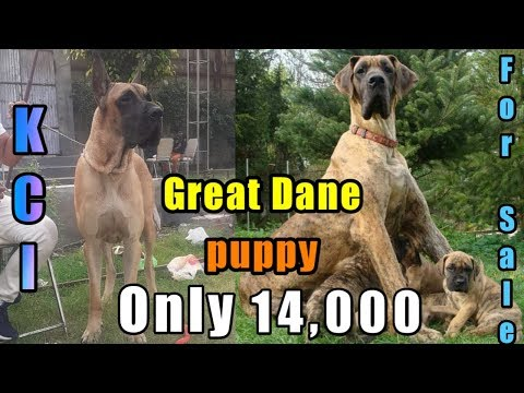Great Dane Puppy For Sale   Kci Registered Great Dane Puppy For Sale