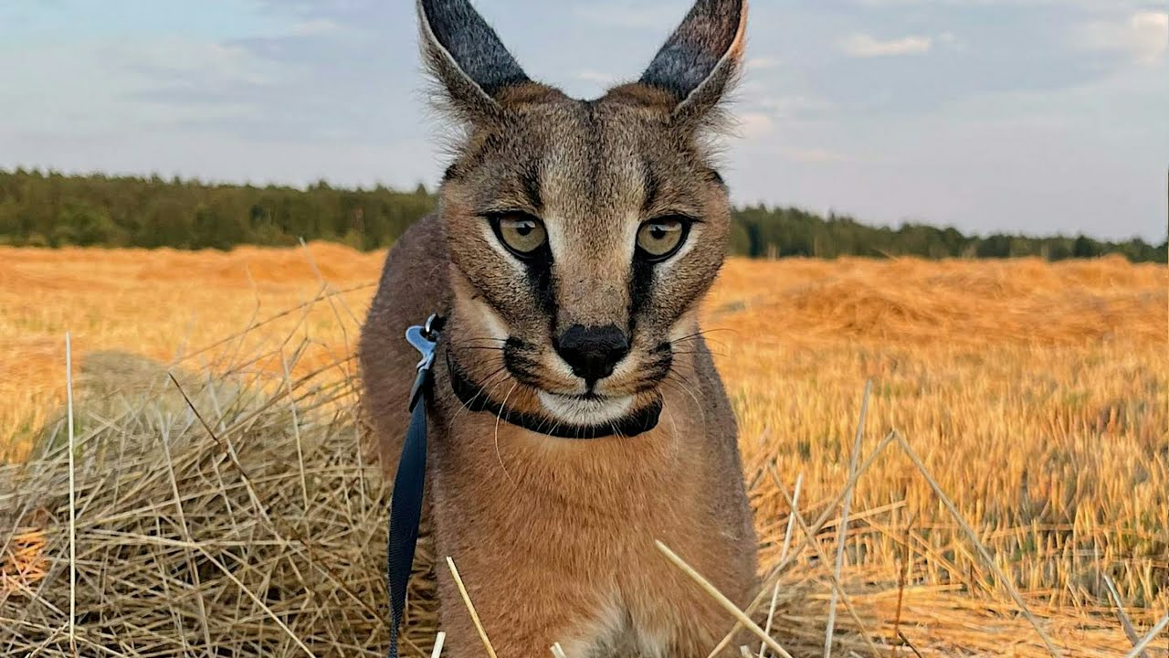 Lovely Caracal Marx Shows Brave Walking : Floppa : Каракал