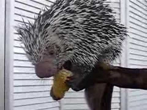 South American Tree Porcupine at Wedding Reception  YouTube
