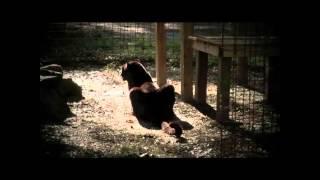 Pantera Negra En Peligro De Extinción