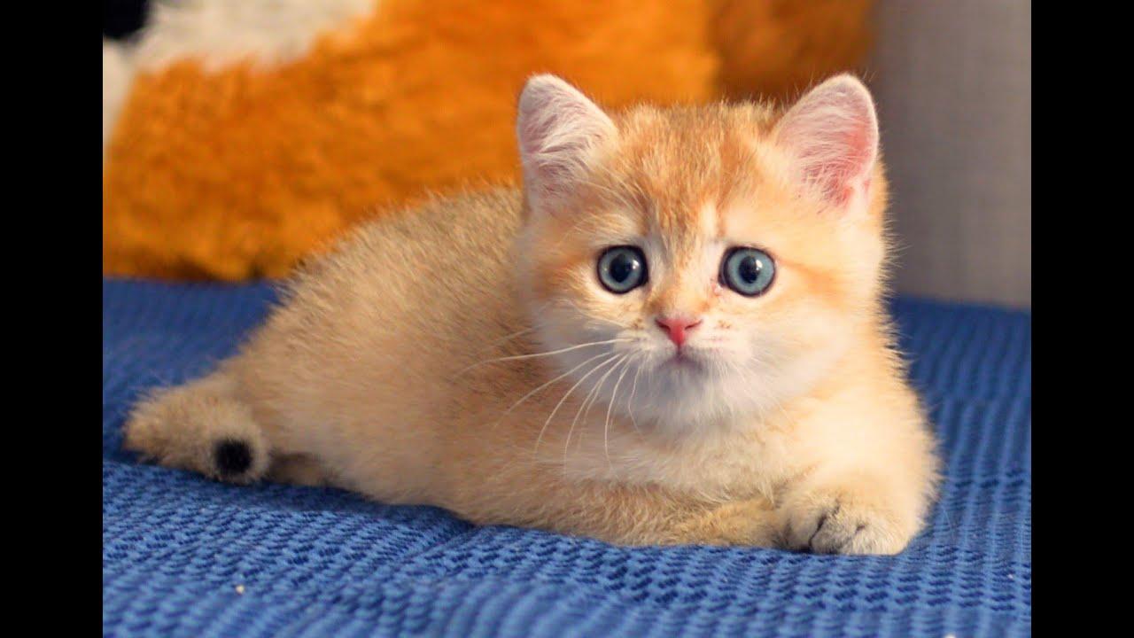 Kitten British Shorthair Black Golden Shaded Ny11 Youtube