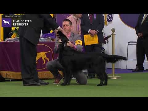 FlatCoated Retrievers | Breed Judging 2020