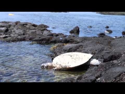 Green Sea Turtle at Kaloko-Honokohau National Historical Park Hawaii
