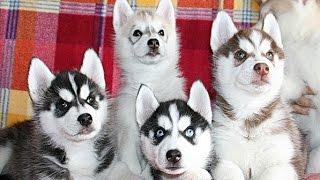 ЩЕНКИ ХАСКИ - ГОЛУБЫЕ ГЛАЗКИ. Puppies Siberian Husky - blue eyes. Одесса.