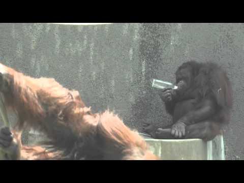 오랑우탄 ( Orangutan )
