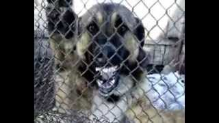 Смертельно опасная собака.