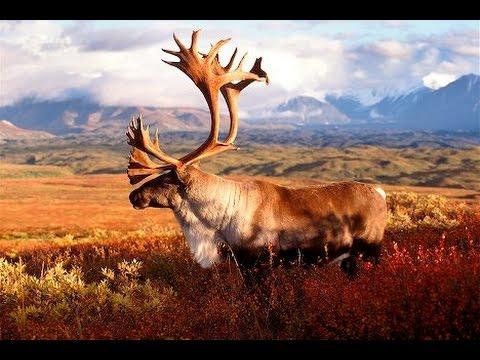 Newfoundland Woodland Caribou Hunting
