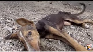 Dog Rescue: Puppy Collapses But Still Wags Tail for Rescuers | The Dodo