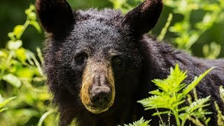 Black Bear Attacks and Injures 5-year Old Girl in East Orchard Mesa, Colorado