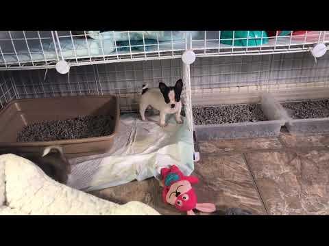 Available Puppies – BonBonChihuahuas