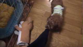 ミックス子犬のダップー Puppy Of The Mixed Breed Dog (poodle × Dachshund)