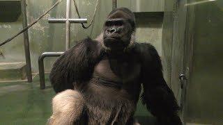 ニシゴリラ (千葉市動物公園) 『モンタ』 ♂ 1984年生まれ 『ローラ』 ♀ ...