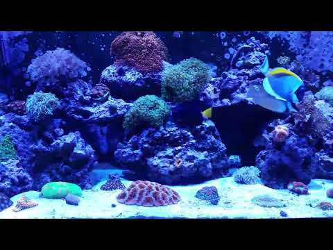 Reef Tank Time. Flat Worm Problem Fixing With Fish