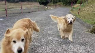 可愛い!飼い主さんを見つけると駆け寄ってくるゴールデンレトリバーたち