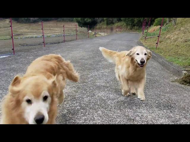 私を見つけて走り寄ってくるゴールデンレトリバーのKOHAKUとIBUKI 3月19日