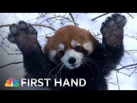 Red Pandas Playing In The Snow Is Your Daily Dose of Cute | NBC News