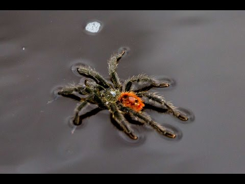 James Burlander - Did You Know Tarantula Spiders Can Swim? Video Shows It All