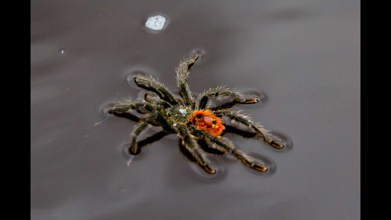 Swimming Tarantula In The Amazon Youtube