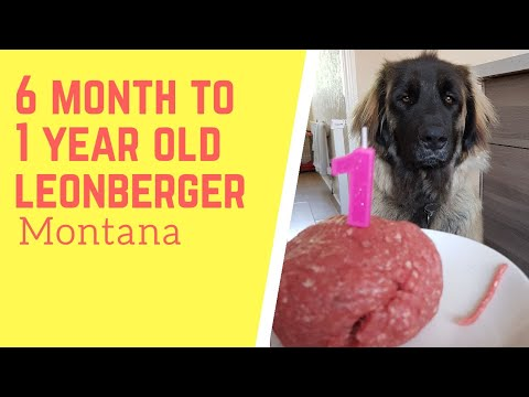 6 month to 1 year old leonberger dog
