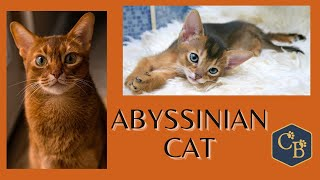 The Abyssinian Cat  in Detail
