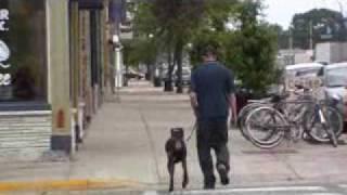Doberman Pinscher Thumpers - Boot Camp Dog Training Graduate