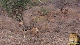 Jackal Steal Lion s Kill