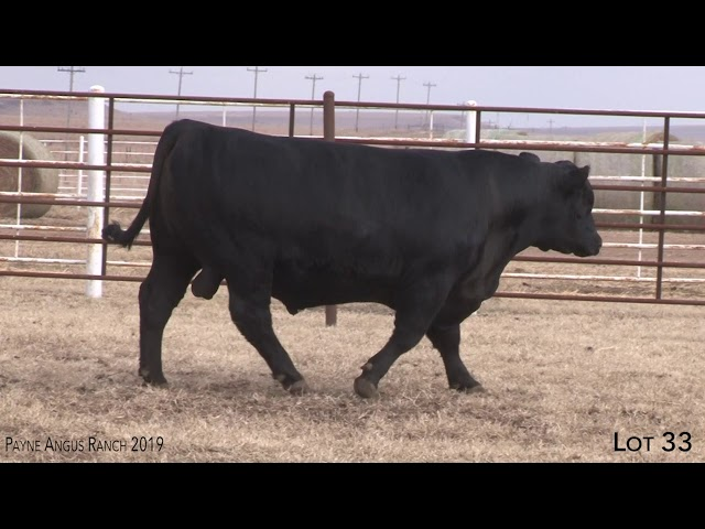 Payne Angus Ranch Lot 33