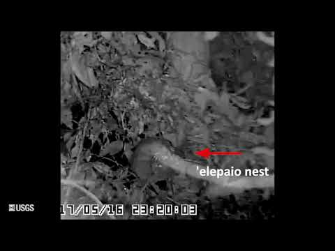Four Examples of Nest Predation by Rats (Short)