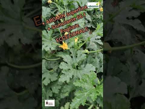 Zucchino in serra, senza concimi chimici migliore del chimico. INCREDIBILE ma vero.