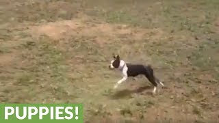Boston Terrier turns out to be natural sheep herder
