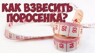 видео Сколько весит свинья: измерение веса