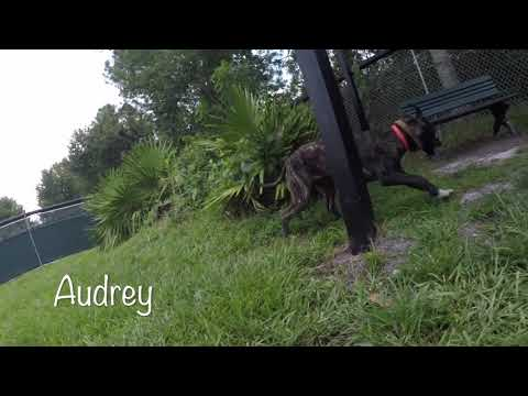Meet Audrey a Treeing Tennessee Brindle currently available for adoption at Petango.com! 8/15/2018 5