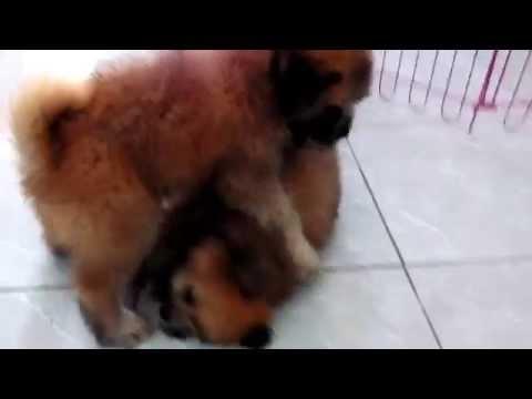 Chichi, Choco (Shih Tzu Chow Chow mix) and Moon the Beagle