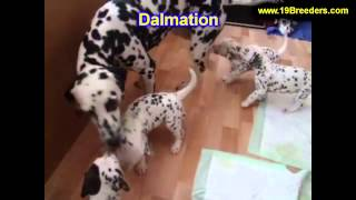 Dalmation, Puppies, For, Sale, In, Allegheny, Pennsylvania, Pa, Bucks, Chester, County, Berks, Delaw