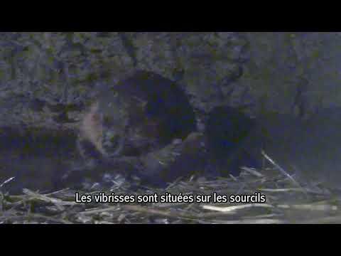 le-castor-silencieux-mais-efficace---zoo-de-st-félicien---québec-(canada)