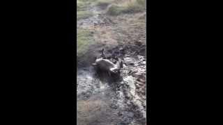 Fudgey, My Staffordshire Bull Terrier, Rolling In Mud