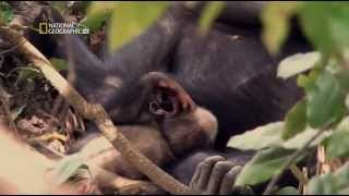 Chimpances Casi Humanos