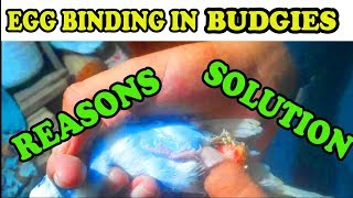 EGG BBINDING IN BUDGIES l URDU/HINDI