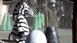 """Zebra breakout"" training. Ueno Zoo.「シマウマ脱走」訓練。上野動物園。"
