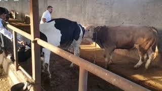 Besi Çiftliginde bogaya cekme besi tohumlama hayvancılık yemrasyon süt