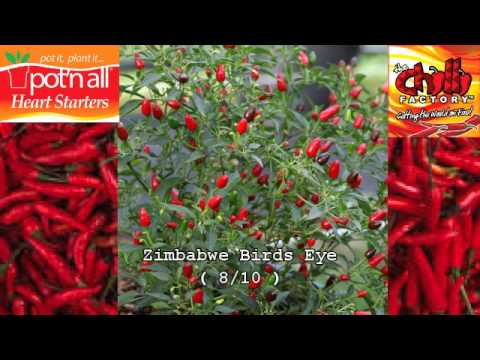 Pot'n All Heart Starters. Grow Your Own Chilli! - YouTube