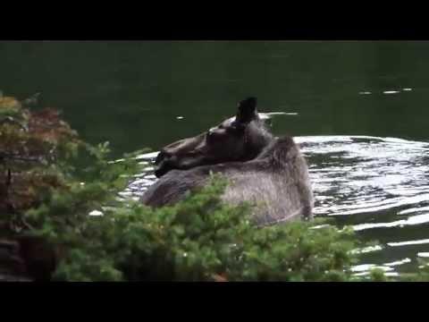 Mooses at Maligne Lake (Moose Lake)