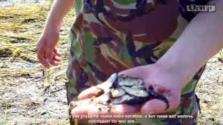 Время ловить руками (р. Десна, г. Остер)(После разлива самое время ловить руками рыбу, которая осталась на лугу. Это видео является частью обзора..., 2013-06-28T09:06:03.000Z)