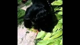 Cocker Spaniel Puppy Scared Of A Caterpillar Ha :d