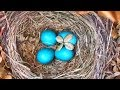 BABY BIRD HATCHING ROBIN EGGS HATCH AND GROW LEAVE 27 DAYS LATER IRL HATCHIMALS