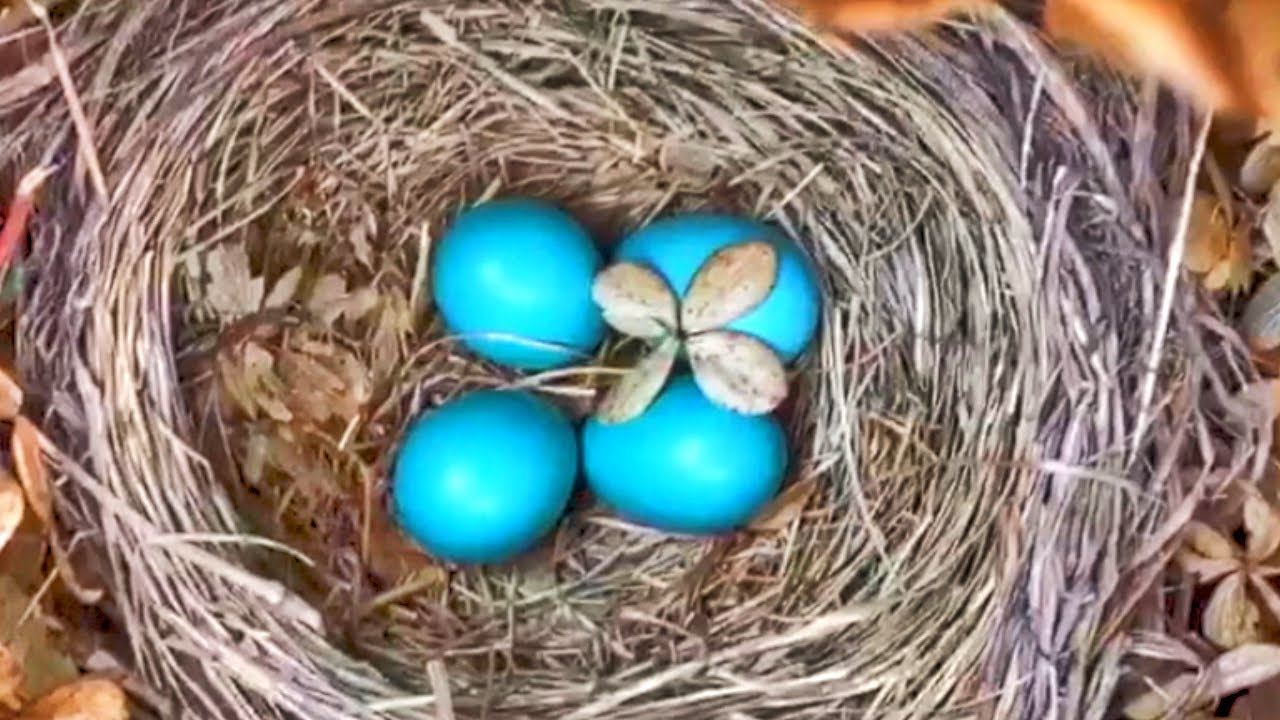 BABY BIRD HATCHING ROBIN EGGS HATCH AND GROW LEAVE 27 DAYS ...